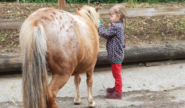 Ein Kind putzt ein Shetlandpony